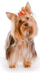 Yorkshire terrier physical traits
