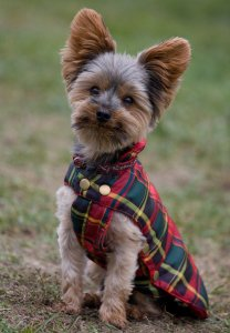 Yorkshire Terrier dog breed