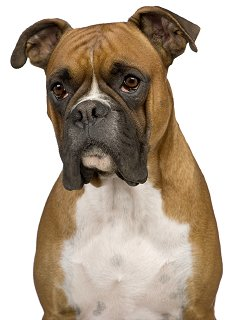 Boxer Dogs: What's Good About 'Em? What's Bad About '