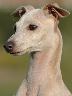 Italian Greyhounds: What's Good About 'Em? What's Bad About '
