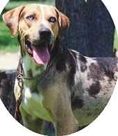 Louisiana Catahoula Leopard Dog breed