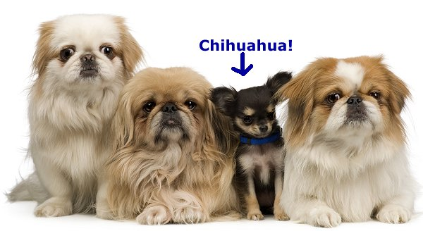 Pekingese: What's Good About 'Em? What's Bad About '