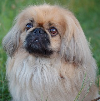 Training Pekingese - The Sensible Way