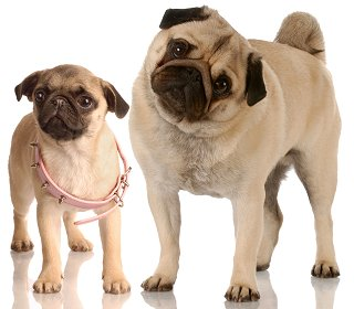 Pugs: What's Good About 'Em? What's Bad About '