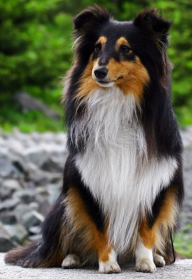 Shetland Sheepdogs: What's Good About 'Em? What's Bad About '