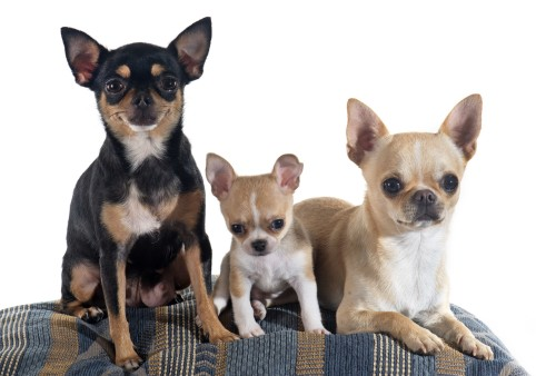 Chihuahuas Whats Good And Bad About Chihuahua Dogs