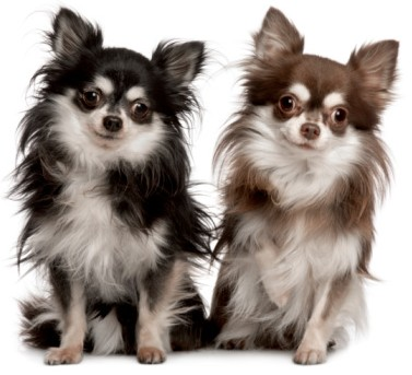 What S Good And Bad About Chihuahua Dogs
