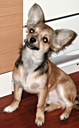 Chihuahuas What S Good And Bad About Chihuahua Dogs