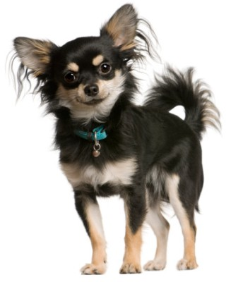 Chihuahuas: What's Good and Bad About Chihuahua Dogs