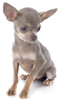 Chihuahua Health Problems | Feeding | Care