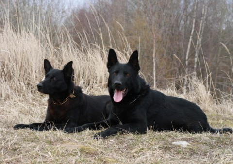 German Shepherds: What's Good About 'Em, What's Bad About 'Em