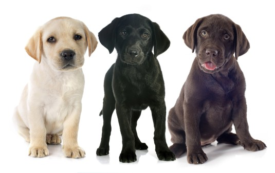 Labrador Retrievers What S Good About