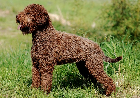 Lagotto Romagnolo: What's Good About 'Em, What's Bad About 'Em