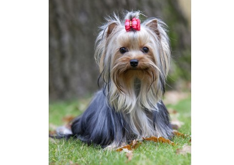 Yorkshire Terriers What\u0027s Good About \u0027Em, What\u0027s Bad About \u0027Em