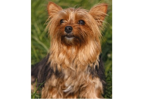 Yorkshire Terriers What S Good About Em What S Bad