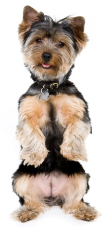 Yorkshire Terriers Whats Good About Em Whats Bad About Em