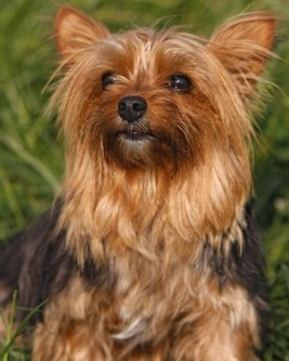 Yorkshire Terriers: What's Good About 'Em, What's Bad About 'Em