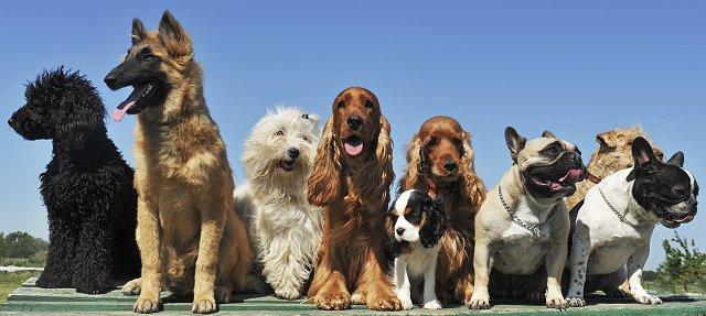 Dachshund beagle mix life expectancy