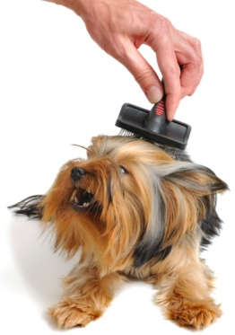 dog doesn't like being brushed